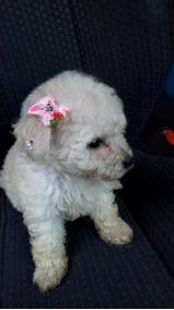 Filhotes De Raça Poodle Miny Toy Brancos Pedigree Garantia