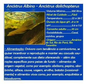 Cascudo Ancistrus Albino 4-6cm - Ancistrus Dolichopterus