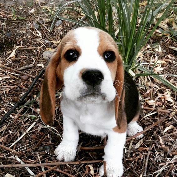 Cachorros Beagles Pedigree Fca