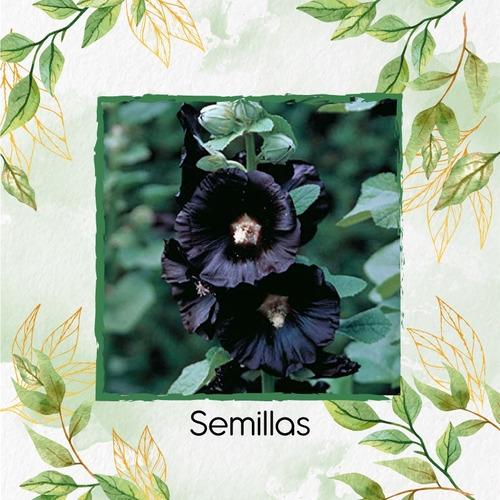 60 Semillas Flor Malva Real + Obsequio Germinación
