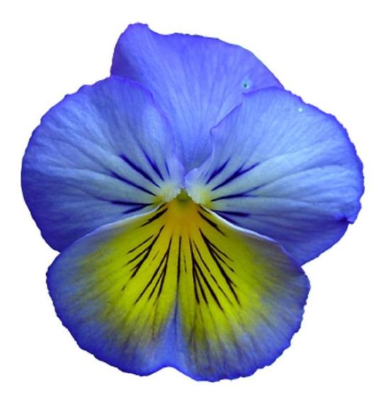 100 Sementes Amor Perfeito Gigante Suíço Azul