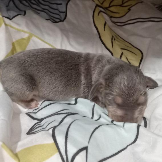 Vendo Cachorros De Perro Salchicha Machos Color Blue