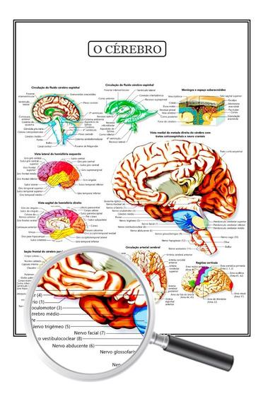 Poster Anatomia Medicina Fisiologia O Cérebro 45x60 Cm