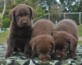 Apuestos Cachorros Labrador Retrivers Chocolates