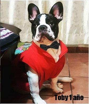 Bulldog Francés Pied Excelente Semental Disponible Paramonta