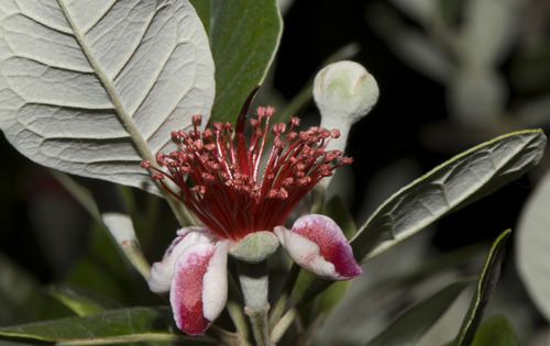 Plantas Guayabo Del Pais Aprox 1.40mts Autoctonas Deliciosas