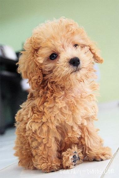 Hermosos Cachorros Caniche Mini Toy Machitos~