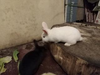 Conejo Raza Últimos !!!