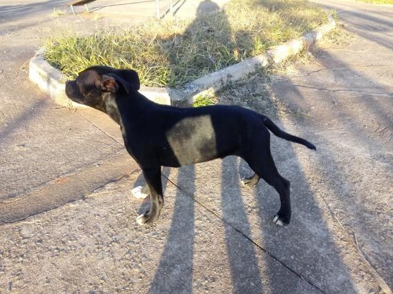 Filhote De Staffordshire Bull Terrier (staffbull) Macho