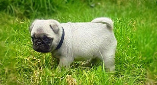 Hermosos Pug Carlino Mini Originales