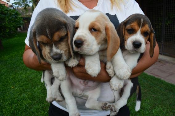 Cachorros Beagle Tricolor Bicolor Rapa Nui
