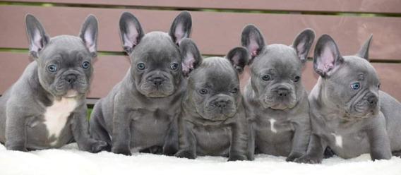 Bulldog Francés Blue Machos