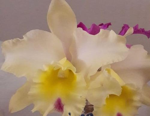 Orquídeas Cattelyas, Plantas Jóvenes.