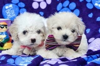 Cachorros Poodle Con Vacunas Raza Pequeña