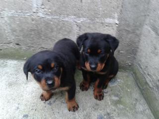 Preciosos Cachorros Rottweiler