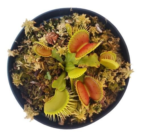 Planta Carnívora Venus Atrapamoscas Dionaea Muscipula B52