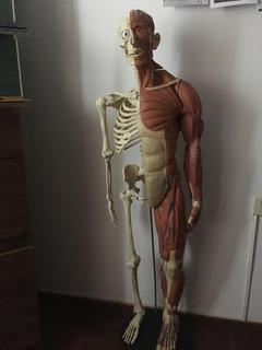 Modelo Anatómico: Cuerpo Humano Completo La Nacion