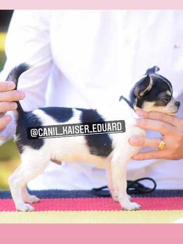Imagem 1 de 2 de Chihuahua Pelo Curto (castrado)