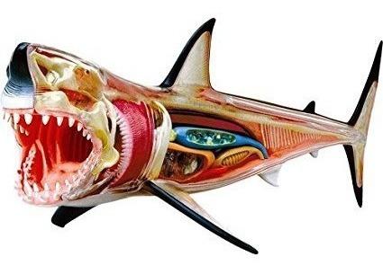 Modelo De Gran Tiburon Blanco Desarmable En 4d