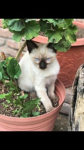Imagen 1 de 12 de Gatos Siames