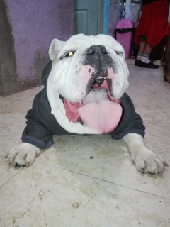 Perro Bull Dog Blanco Vacunas Al Dia