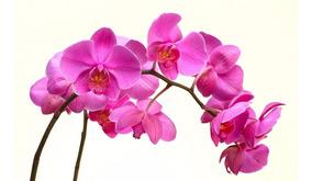 100 Sementes De Orquideas Phalaenopsis Rosa - Frete Gratis