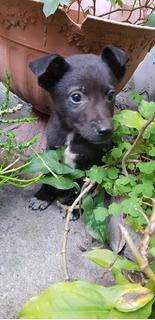 Bebote Cachorro Macho De 2 Meses En Adopcion Responsable