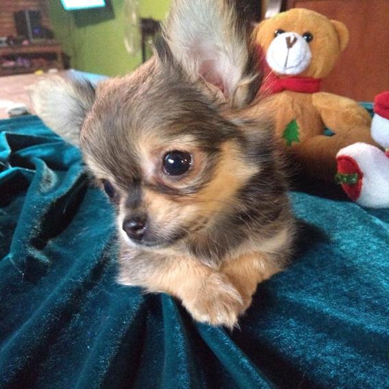 Hembra Chihuahua Mini Pelo Largo.