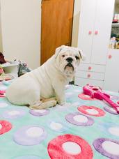 Bulldog Inglés En Servicio Joven