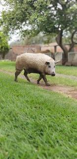 Cerdo Mangalica Únicos En Mexico