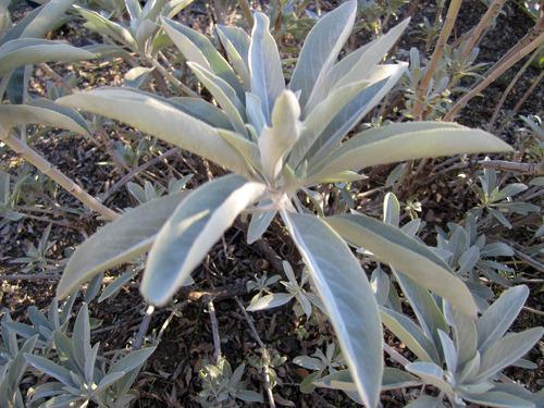 Salvia Branca Sagrada Apiana Espiritua 120 Sementes P/mudas