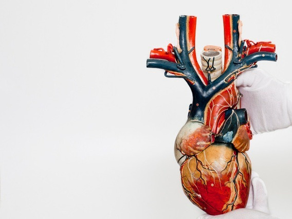 Coração Anatômico