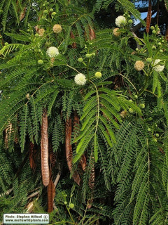 Pack Semillas De Huaje O Guaje (leucaena Leucocephala)