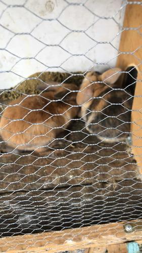 Conejos Holland Lop Hembras Quedan 2