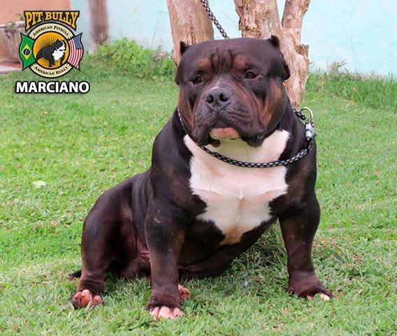 American Bully - Cachorros de Raça no Mercado Livre Brasil