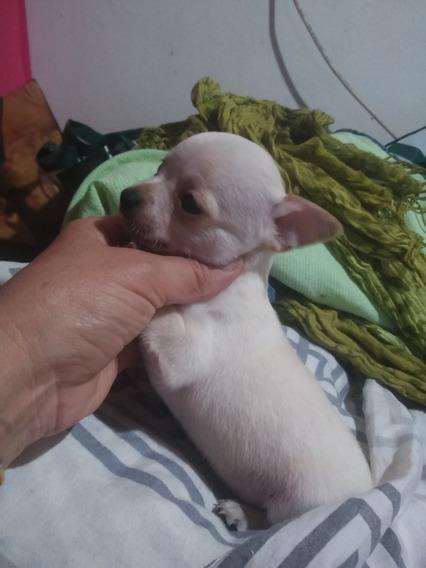Chihuahua Mini Vaquita 4 Meses