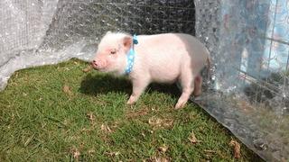 Cerdita Rosa Mini Pig