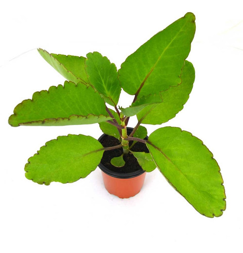 Imagen 1 de 4 de Planta De Kalanchoe Pinnata Exótica Medicinal Anticancer