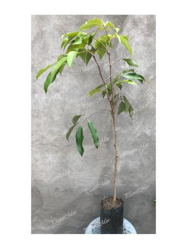 Imagen 1 de 3 de Árbol Lichi Frutal Premium
