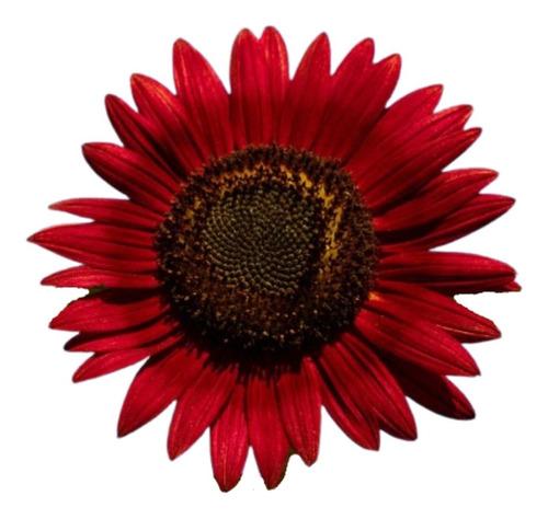 Sementes De Girassol Sol Vermelho
