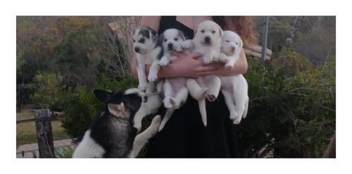Imagem 1 de 10 de Vendo Filhotes De Husk Siberianos Puros E Raros