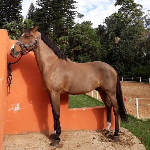 Cavalo Brasileiro De Hipismo Registrado Bh Mercado Livre