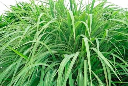 Semillas De Pastos Guinea Massai 100% Brasilera Bolsa 1 Kilo