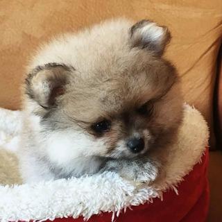 Realeza Pomeranian