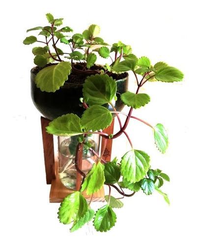 Imagen 1 de 7 de Dolar Little Plant 32 Con Soporte, Maceta Autorregante