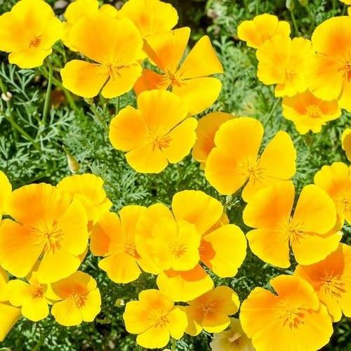 Eschscholzia Californica Amarilla 15 Semillas Fácil Sdqro2