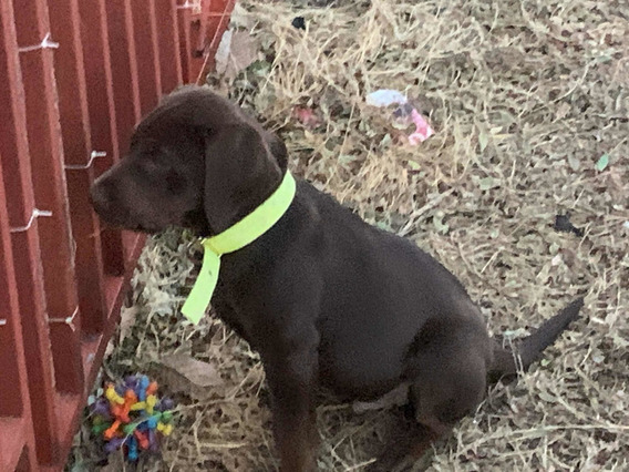 Perro Labrador Chocolate