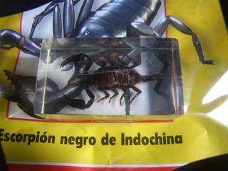 Escorpion Negro De Indochina, Coleccion Bichos