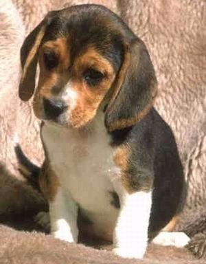 Cachorros Beagle La Mejor Reputacion De Mercadolibre