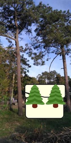 Imagen 1 de 3 de Regalo Dos Pinos Árboles Altos Grandes Zona Pinar A Retirar